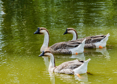 nuisance: Grey Goose swimming in a large pond. Stock Photo