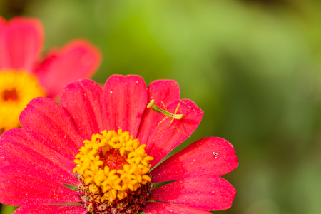 mantid: Closeup image of mantis on red flower Stock Photo