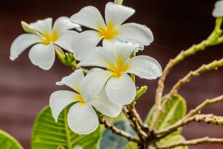 subtropical plants: Frangipani, Plumeria flower on white background Stock Photo