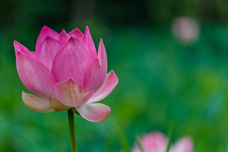 nelumbo nucifera: Lotus flower and Lotus flower plants Stock Photo