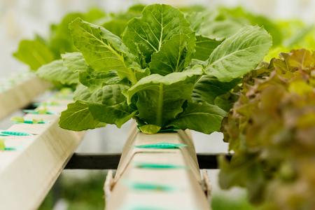 arboles frondosos: El cultivo de hortalizas orgánicas sin suelo. Foto de archivo