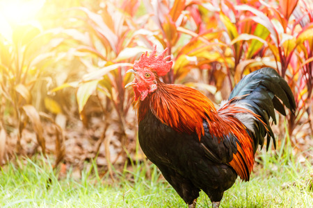 Rooster crowing in the morning sun Stock Photo
