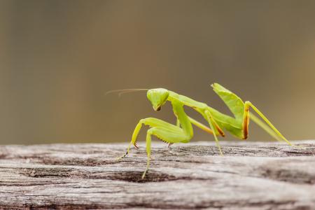 european mantis: Female European Mantis or Praying Mantis, Mantis religiosa, on old wood