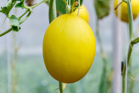 melon field: Yellow Cantaloupe melon growing in a greenhouse.