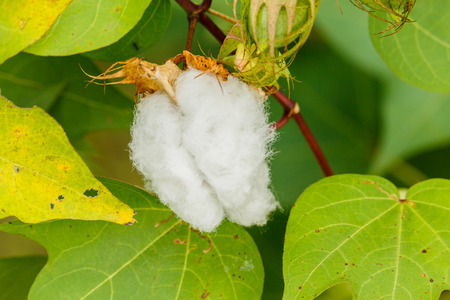 cotton bud: Raw Cotton plant and seed