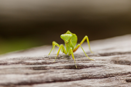 Female European Mantis or Praying Mantis, Mantis religiosa, on old wood