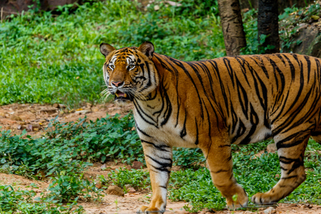 Bengal Tiger in forest Stock Photo