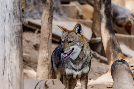scavenger: Golden Jackal in wildlife Stock Photo