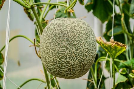 melon field: Cantaloupe. Fresh melon on tree. selective focus