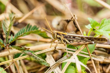 Macro photograph of a brown grasshopper  on a branch Stock Photo