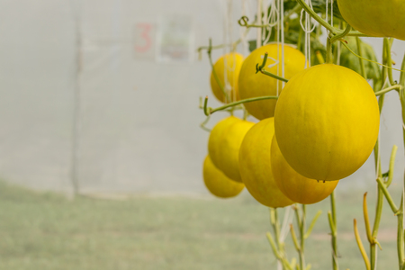 Cantaloupe: Yellow Cantaloupe melon growing in a greenhouse.