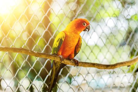 Beautiful colorful parrot, Sun Conure (Aratinga solstitialis), side profile