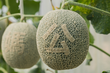 Cantaloupe: Cantaloupe. Fresh melon on tree and Carved Chinese Stock Photo
