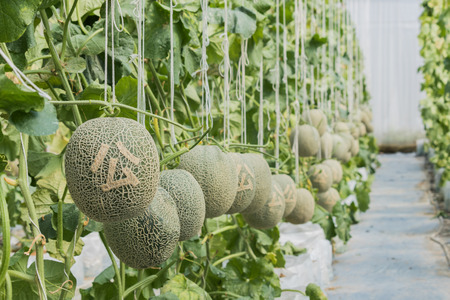 Cantaloupe. Fresh melon on tree and Carved Chinese Stock Photo