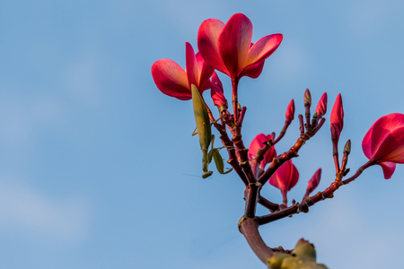 Praying mantis on a flower and blue sky background Stock Photo