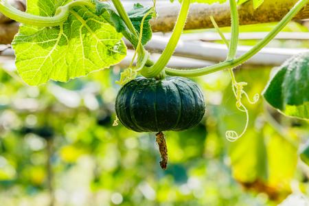 noix saint jacques: Winter squash, or Pumpkin on its tree