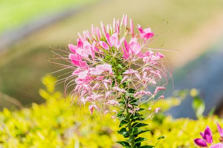 tare: beautiful colorful western tare in the garden