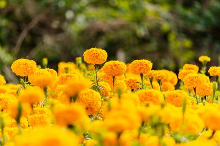 Marigolds flowers in the garden