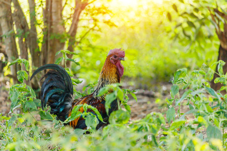 dominant: colorful rooster on morning light and green nature background