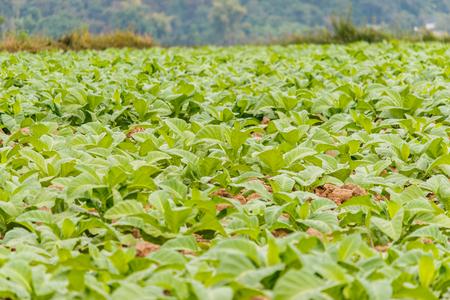 rape: plantación de tabaquería en Bueng Kan Tailandia Foto de archivo