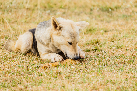 labrador teeth: Dog gnawing on a bone in the Grass Stock Photo