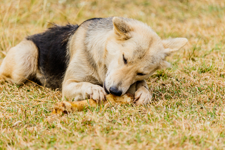 Dog gnawing on a bone in the Grass Stock Photo