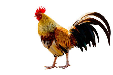 dominant: Rooster (Male Chicken) isolate white background with clipping path