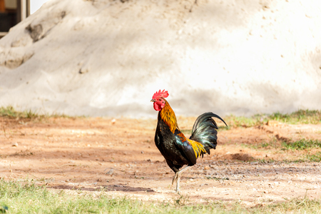 Rooster (Male Chicken) on a nature background