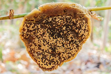 Honeycomb hem or Apis florea Stock Photo