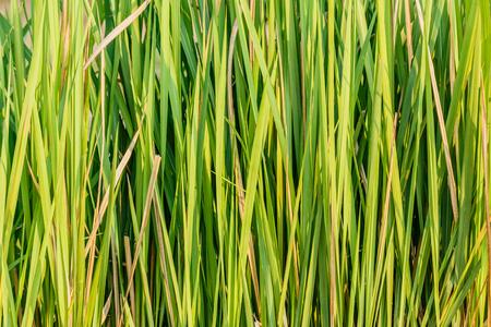 imperata: Close up Imperata cylindrica Beauv  in nature
