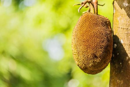 Thai fruit giant jackfruit