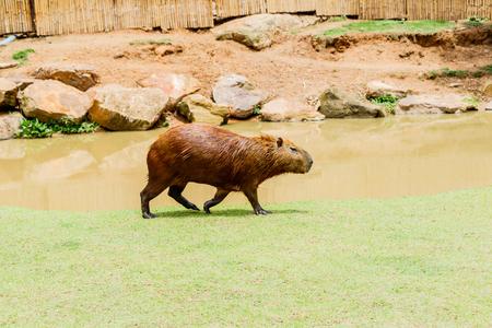 ig Capybara (hydrochoerus hydrochaeris) in the zoo Imagens