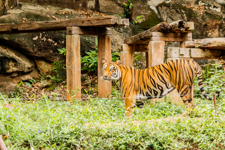 wildanimal: An Indian tiger in the wild. Royal, Bengal tiger Stock Photo