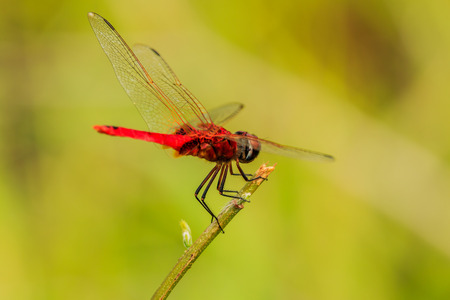 Red dragonfly  Catch the branches in nature background.