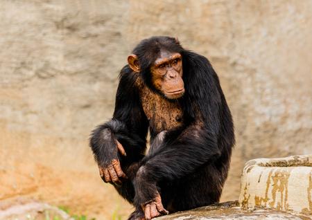 The portrait of black chimpanzee Stock Photo