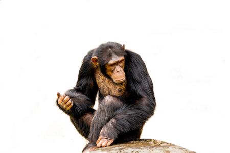 The portrait of black chimpanzee isolate on white background. Stock Photo