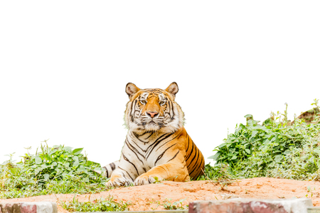 tiger posing isolate white background