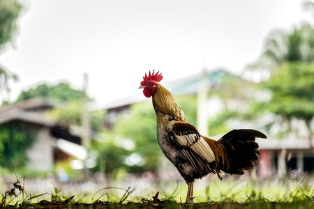 rooster or chicken on traditional free range poultry farm