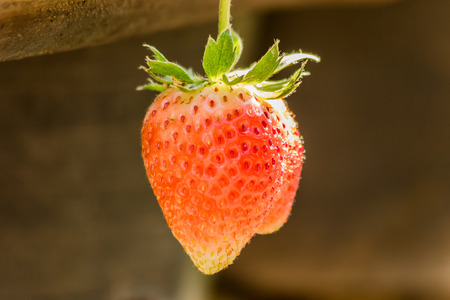 Strawberries on a strawberry plant on a strawberry plantation. Stock Photo