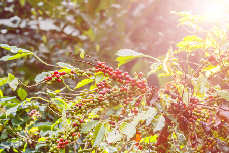 Fresh  coffee beans on a plant in the garden 스톡 콘텐츠