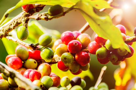 Fresh  coffee beans on a plant in the garden Stock Photo