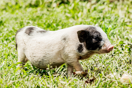 Young funny pig on a spring green grass