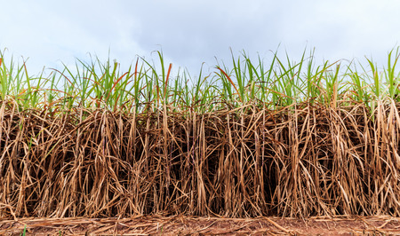 cultivated green sugarcane field with blue sky Stockfoto