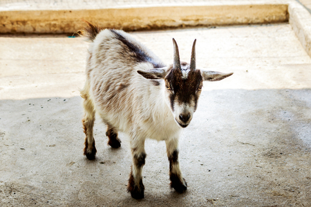 Goat baby in the stall farm thailand. Stock Photo