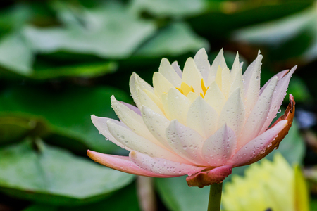 Pink lotus with rain drops in the pool