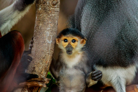 Portrait of the young red-shanked douc langur Stock Photo