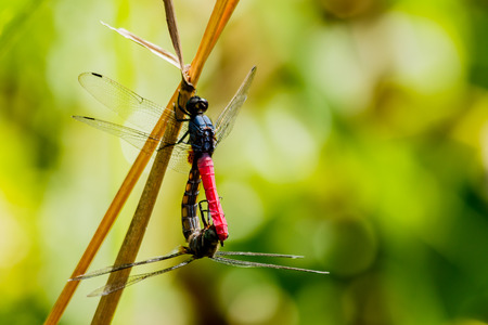 Dragonfly mating season
