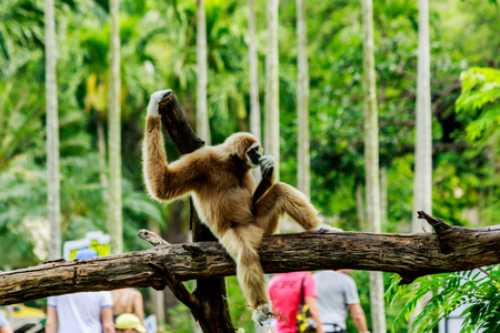 white handed gibbon  sitting in a tree  in nature.