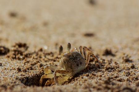 Sea crab runs along the sandy beach in thailand. Stockfoto