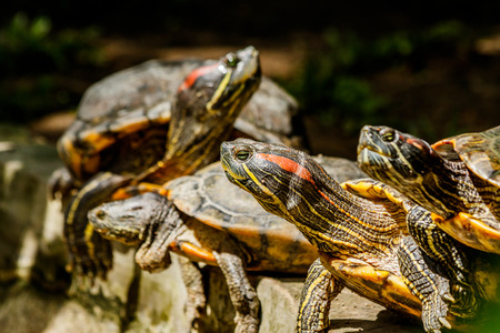 small freshwater turtles warm up in the sun